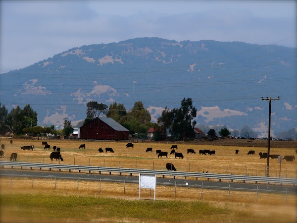 sonoma mountain preservation cows fence highway