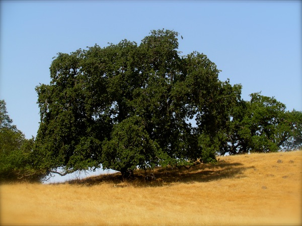 sonoma mountain oak tree