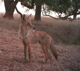 coyoteSonMtn